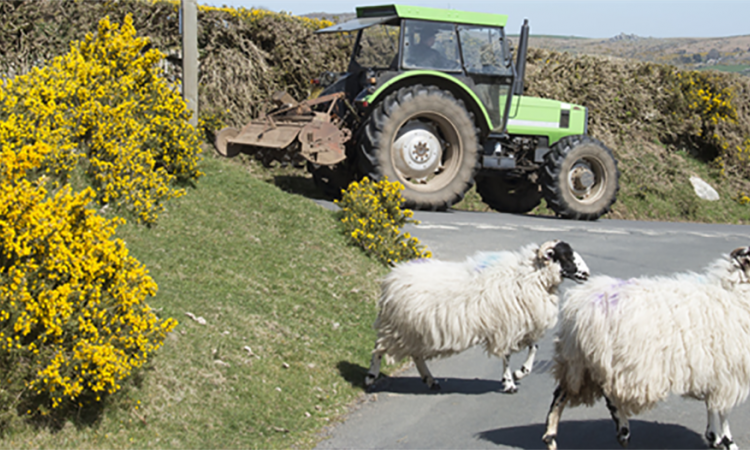 Tractor with sheep crossing the road